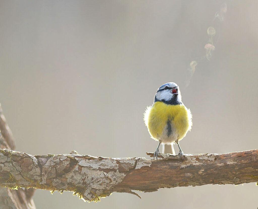 blue tit singing, visible breath